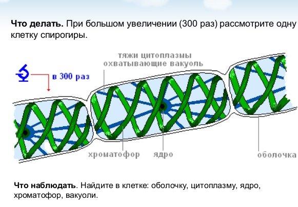 Строение спирогиры
