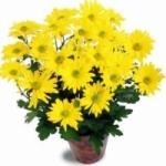 Хризантема уход за цветком в домашних условиях