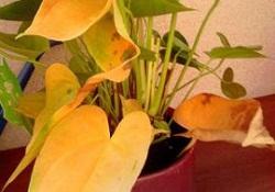 Антуриум, желтеют листья