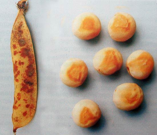 Бактериальный ожог гороха на бобах и семенах -  Pseudomonas syringae фото