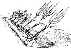 Как прикопать смородину