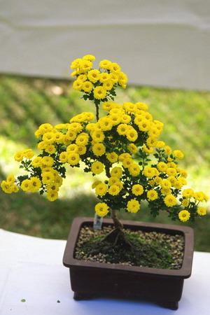 Необычная обрезка хризантемы