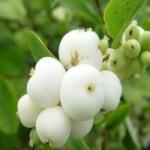 Снежноягодник белый. Выращивание и уход