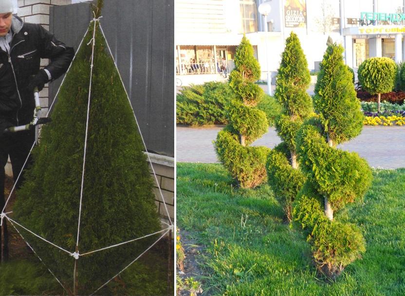 Декоративные растения: Ель: посадка и уход на даче