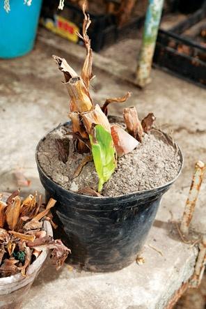 Цветы и клумбы: Пересадка канн в открытый грунт