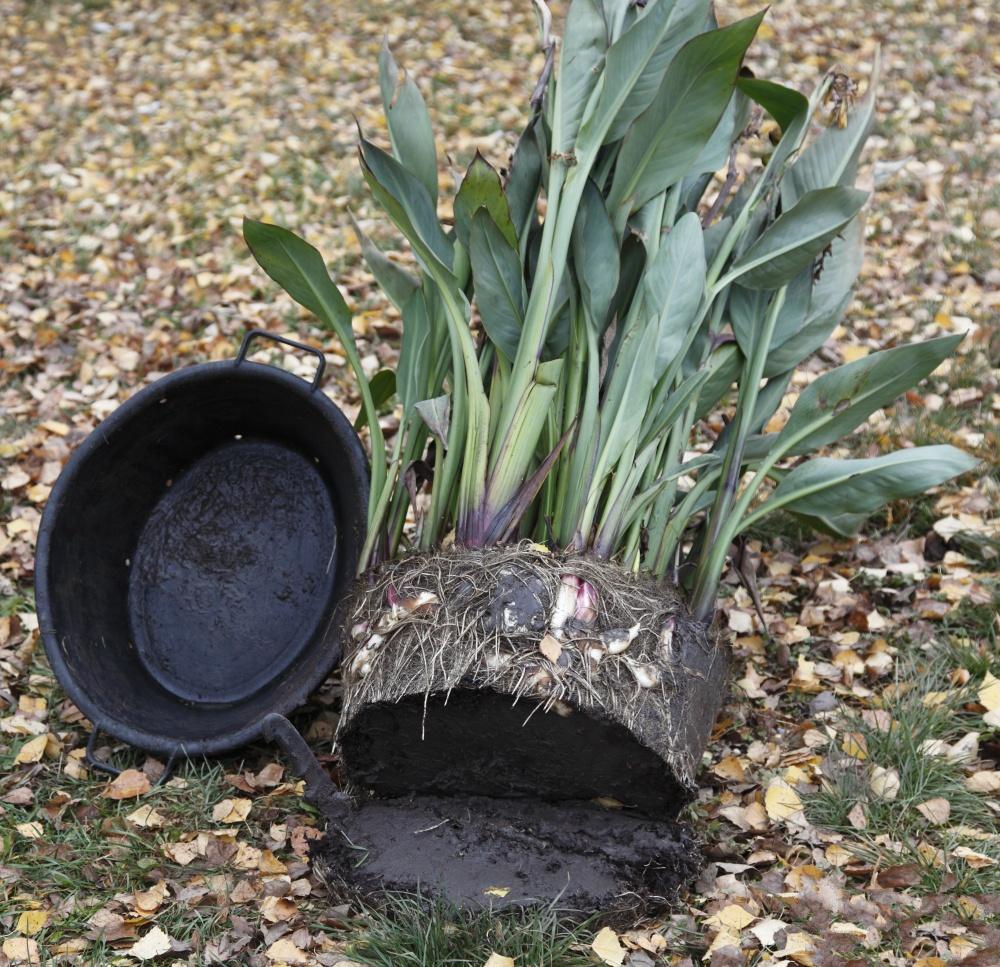 Цветы и клумбы: Водные канны