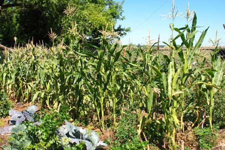 Техника и инструменты для дачи: Капельный полив кукурузы на поле