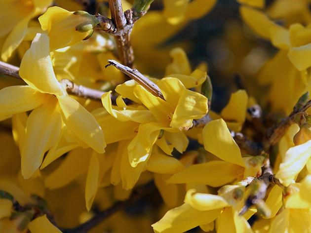 Сад: Посадка форзиции весной