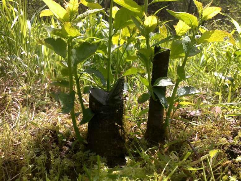 Сад: Как избавиться от поросли сливы
