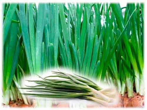 Огород: собранный лук