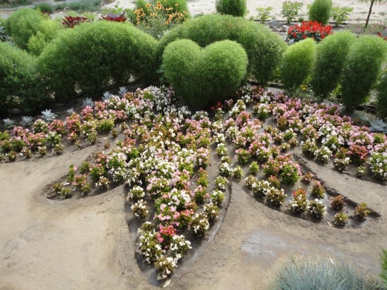 Декоративные растения: Кохия посадка, выращивание и уход