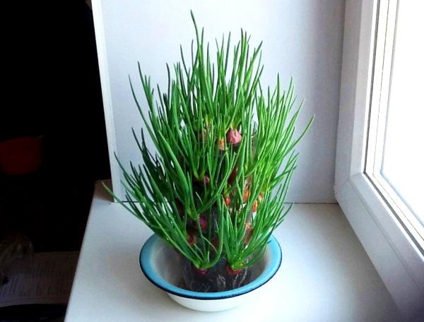 Огород: зеленый лук