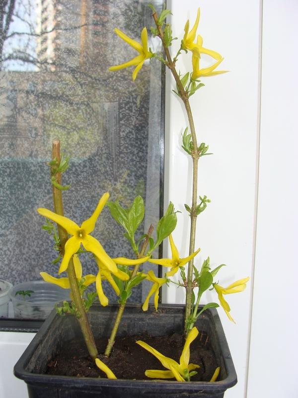 Сад: Выращивание черенков форзиции в домашних условиях
