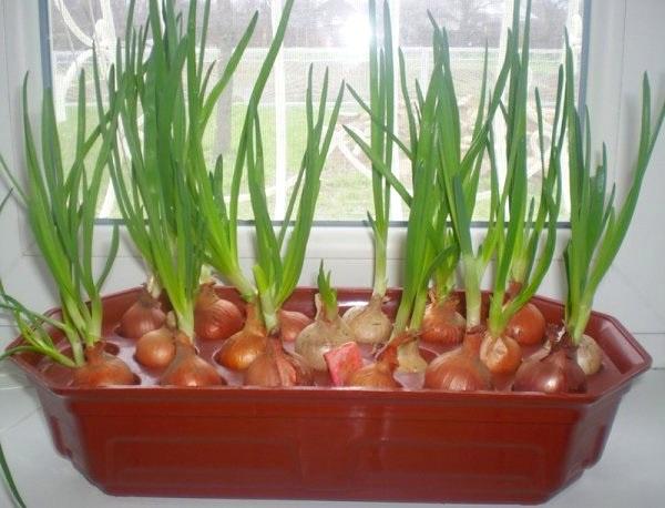 Огород: лоток для лука