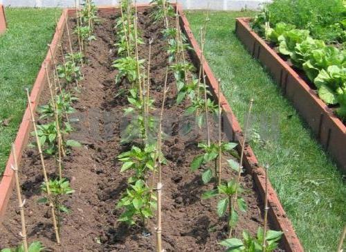 Огород: соседи перца