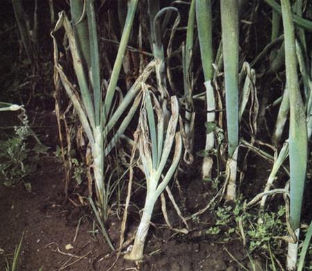 Огород: луковая нематода