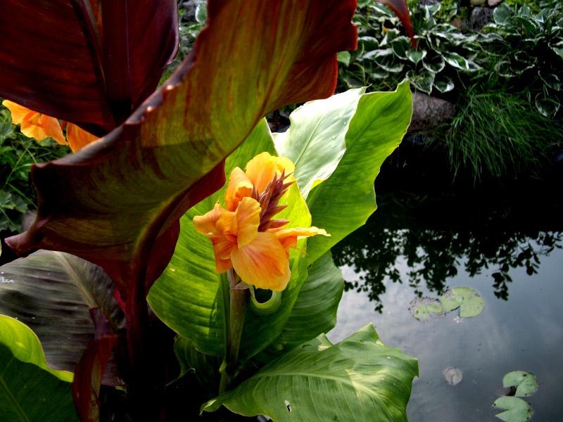 Цветы и клумбы: Выращивание водной канны