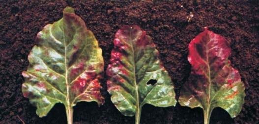 Огород: Недостаток фосфора у свеклы