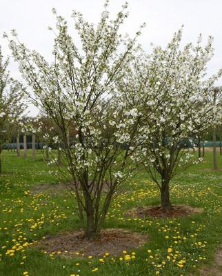 Сад: Вишня дерево