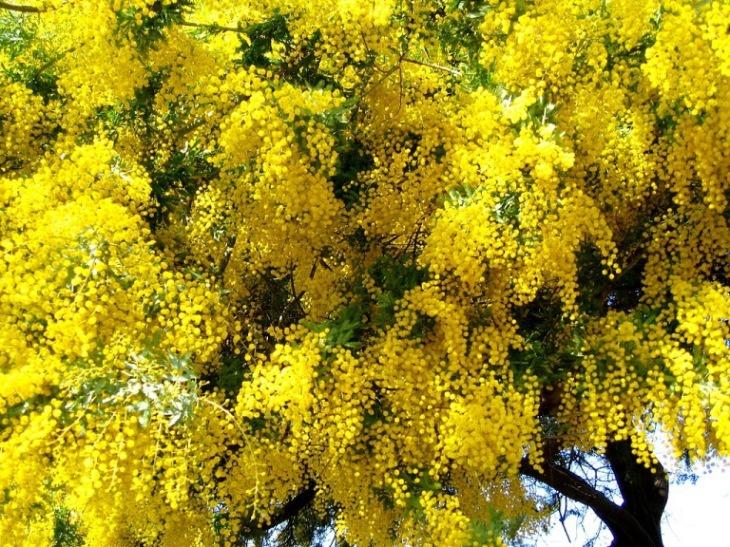 Декоративные растения: Как вырастить акацию