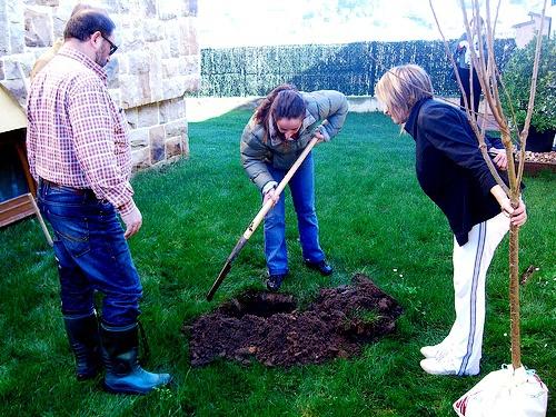 Сад: Как и когда посадить сливу