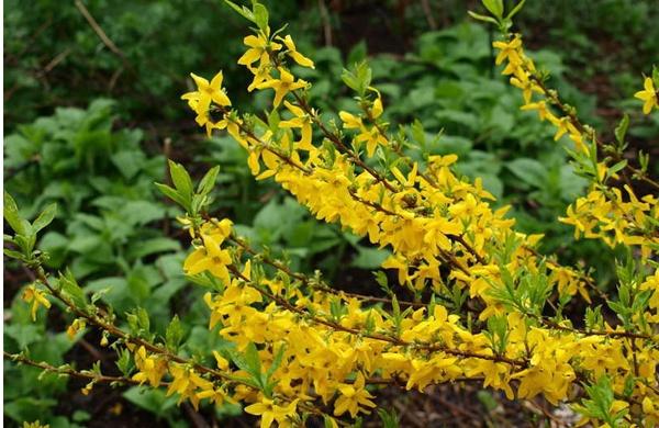 Декоративные растения: Цветущая форзиция