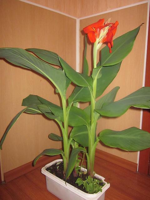 Цветы и клумбы: Канна в домашних условиях