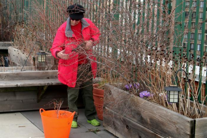 Сад: Стрижка форзиции ранней весной
