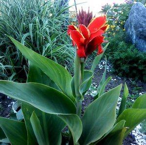 Цветы и клумбы: Канна