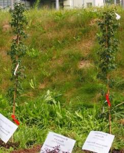 Выращивание саженцев кроваво - красного боярышника