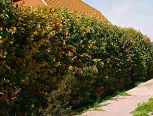 Выращивание живой изгороди из боярышника