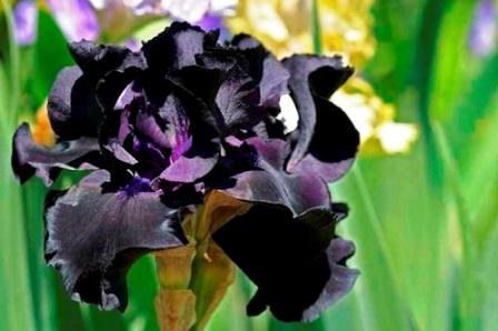Black Suited ирис фото
