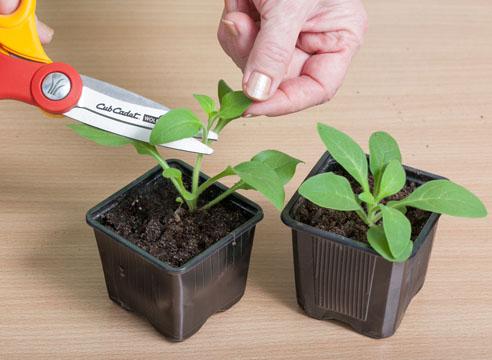 Размножение петунии семенами. Прищипка сеянцев.