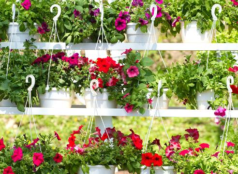 кто не равнодушен к этим цветам, выращенных из рассады для дачных клумб должны знать некоторые правила посадки и ухода за этими красивыми цветочками.
