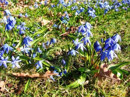 пролески цветы фото