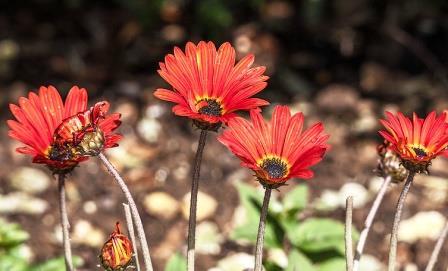 цветы арктотис фото