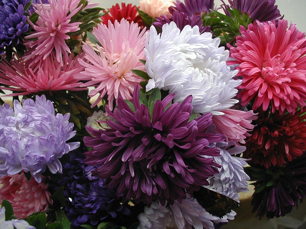 asters_01