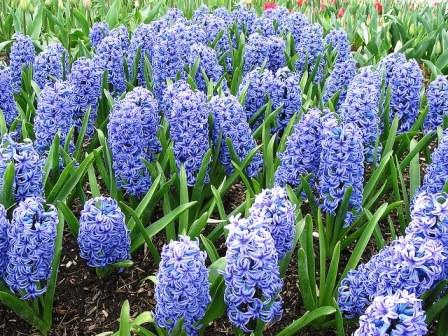 гиацинт голубой фото