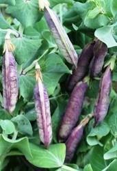 горох сорт Фиолетовый
