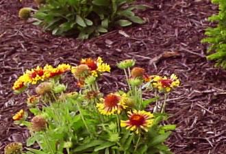 обрабатывание почвы многолетних цветов