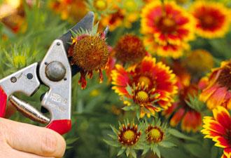 удаление завянувших цветов