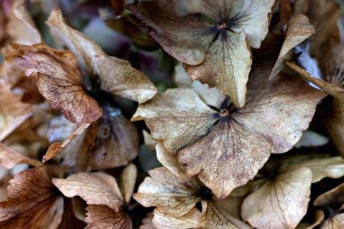 Укрытие гортензии на зиму осенью