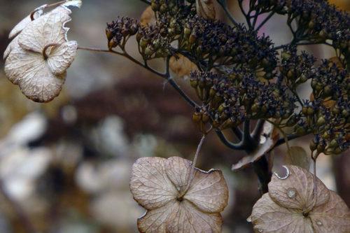 Гортензия после цветения осенью