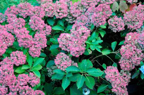 Укрытие на зиму крупноцветковой гортензии