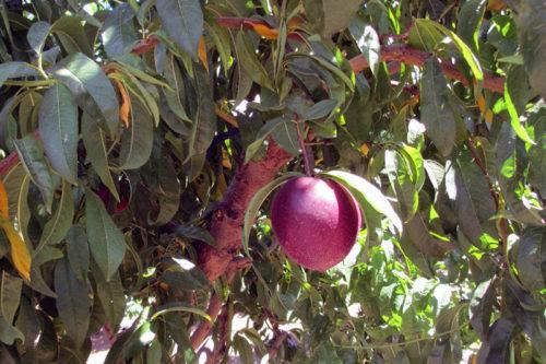 Как выращивать нектарин – посадка и уход