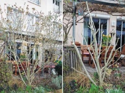обрезка садового древовидного гибискуса