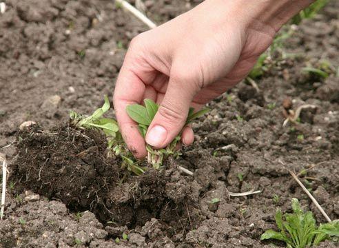 Перекопка огорода требует тщательного выбора сорняка