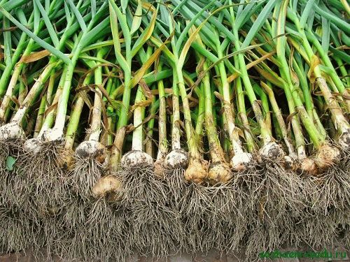 яровой чеснок сбор урожая