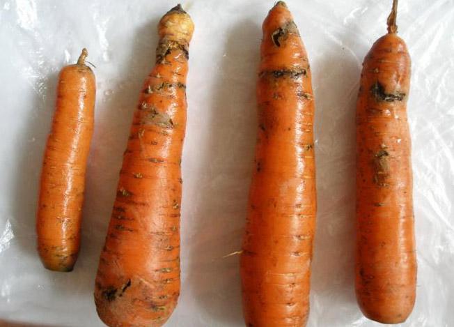 фитофтора на моркови