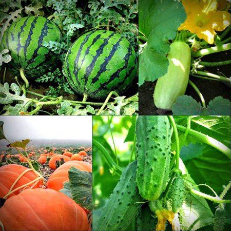 какие овощи садить после кабачков